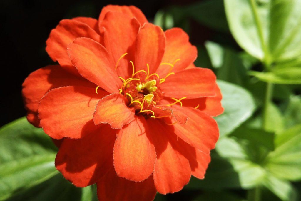Zinnien erste Blüte
