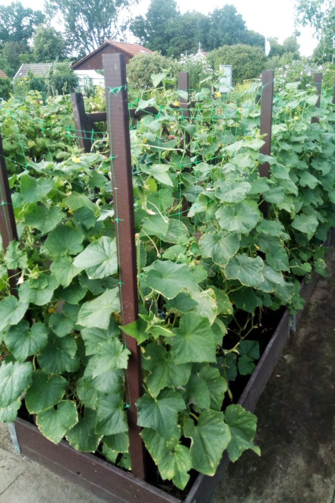 Gurkenpflanzen im Garten