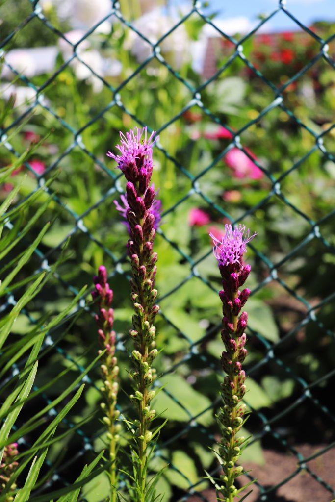 erste Blüte Prachtscharte im Juli