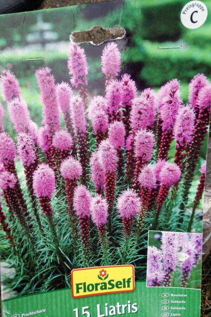 Prachtscharte in violett
