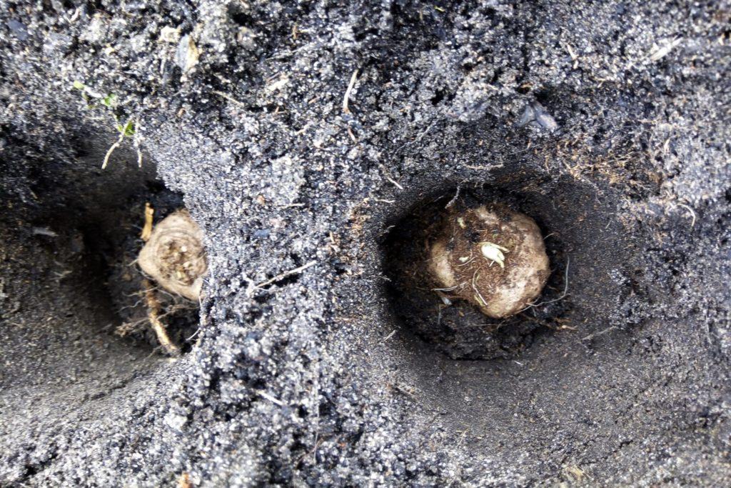 Prachtscharte Liatris spicata - Blumenzwiebel Pflanzung im Februar
