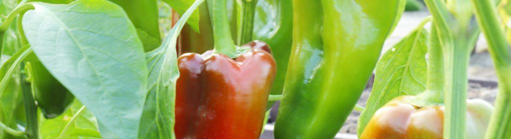 Paprika aus Samen ziehen