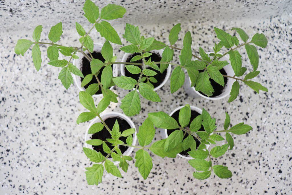 Tomatenpflanzen - Mitte April