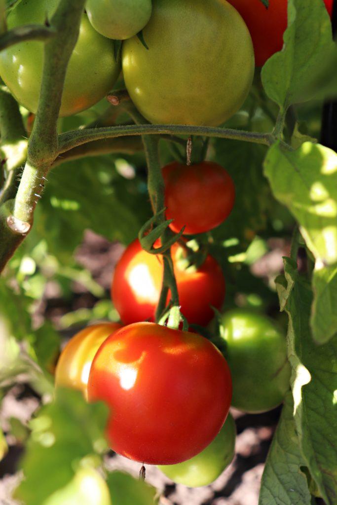 """Tomaten erntereif """"Harzfeuer"""" - leckere Früchte"""