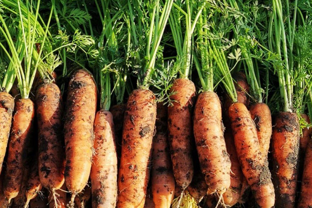 Karotten richtig aussäen, Schädlinge bekämpfen.