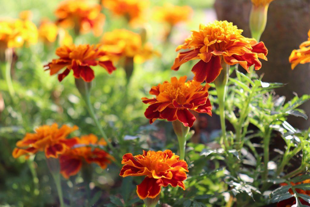 Tagetes - nützliche Blumen