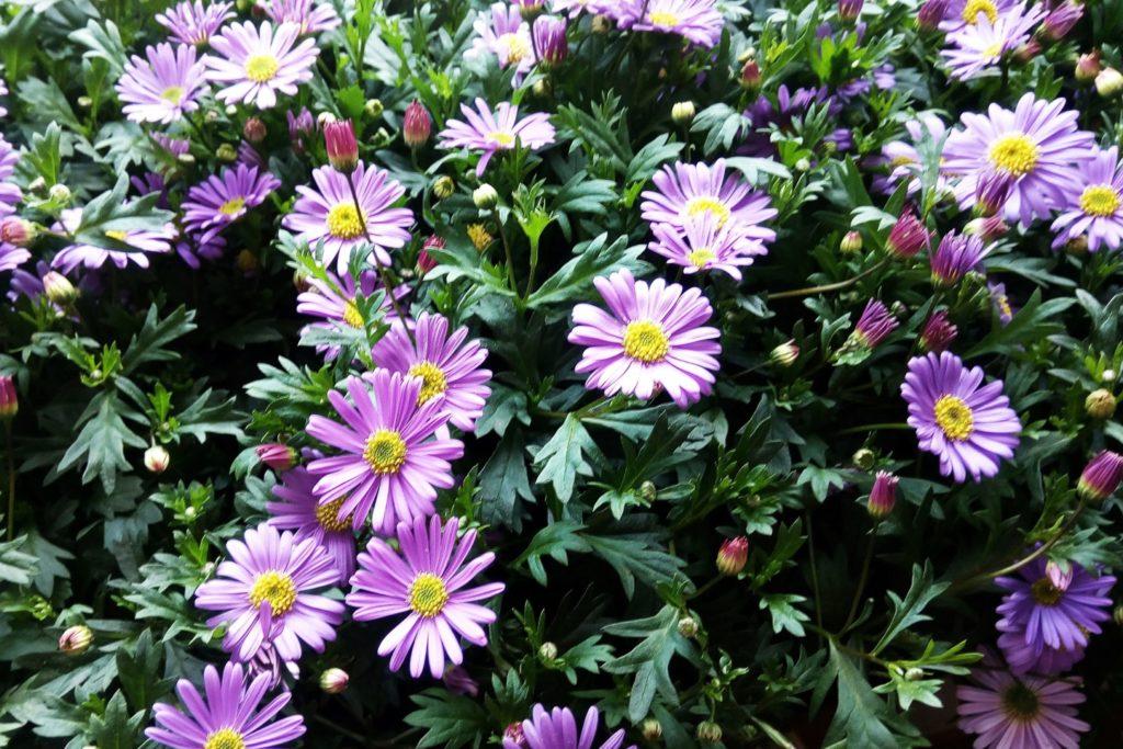 Blaues Gänseblümchen in lila, kleinblütig und dauerblühend