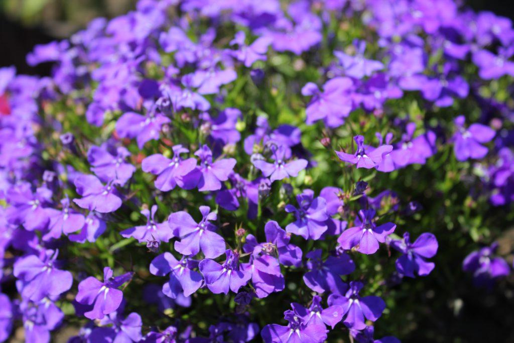 Männertreu in lila