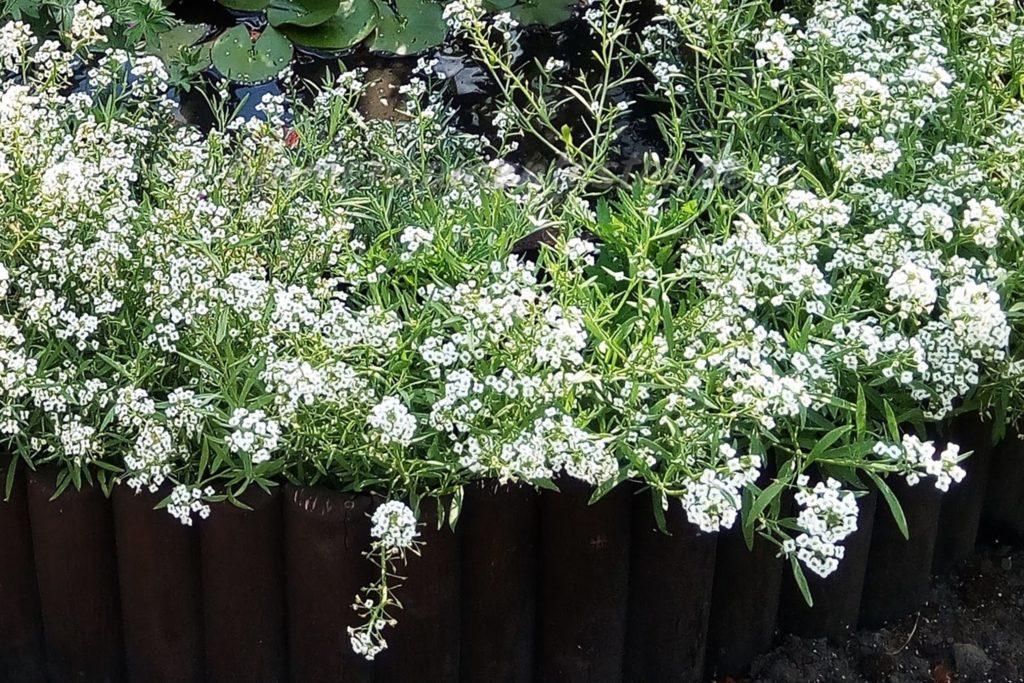 Steinkraut in weiß, dauerblüher