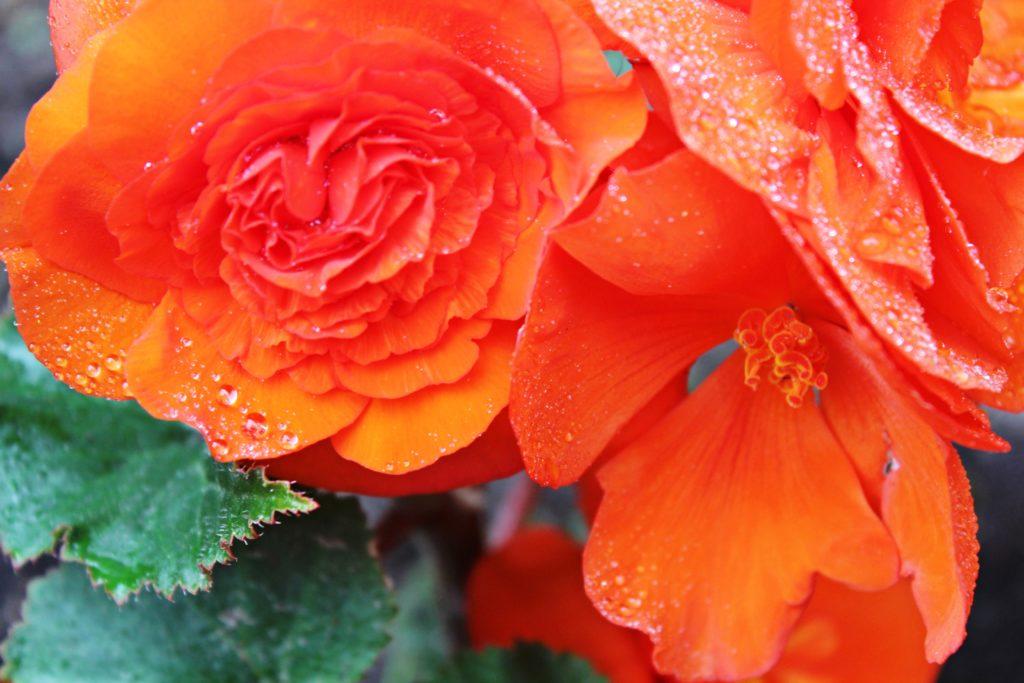 Dauerblünde Blumen - Begonien in orange, für Schattenbereich
