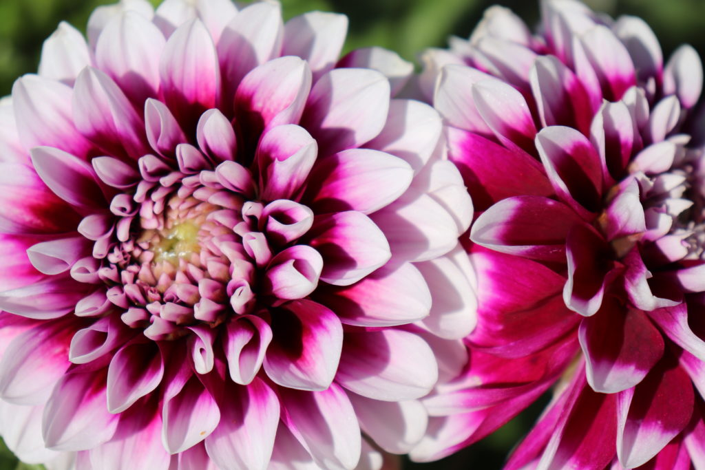 Dahlien - bunte und dauerblühende Blumen