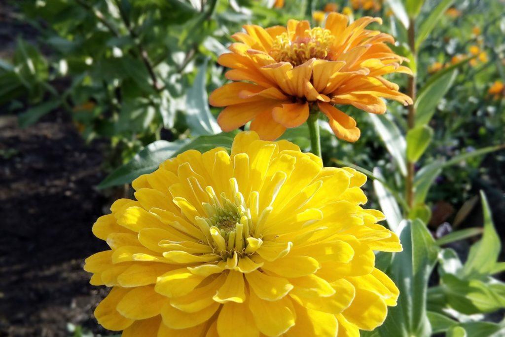 Zinnien - dauerblühende Blumen