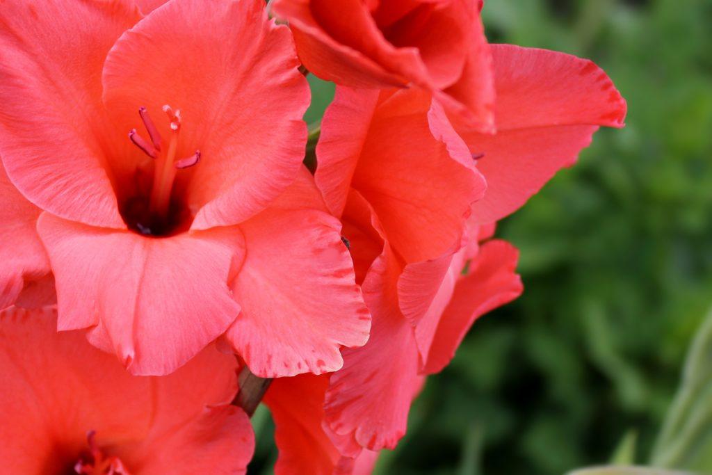 Gladiolen, bunt und hoch