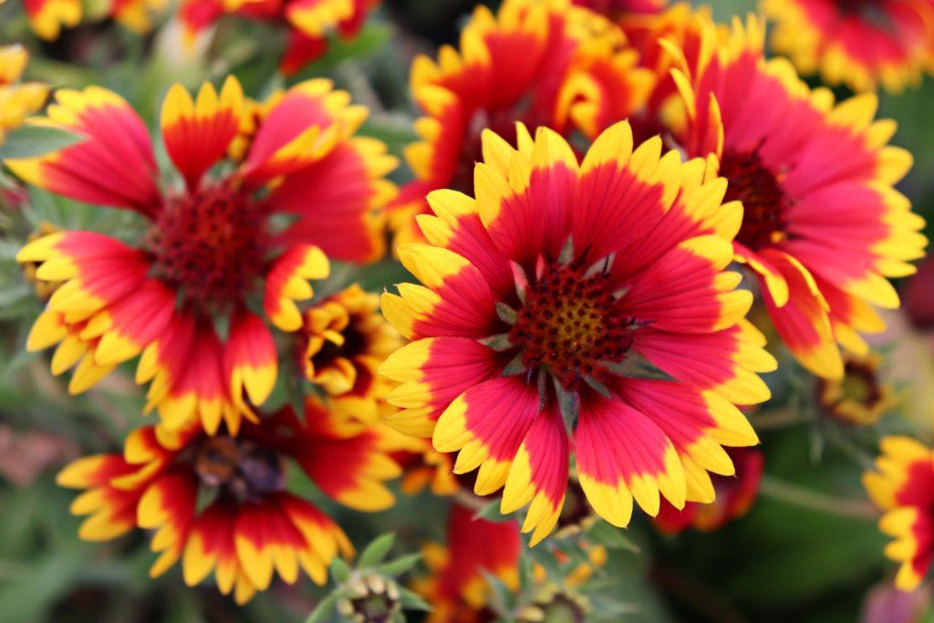 Kokardenblumen - eine winterharte Blume