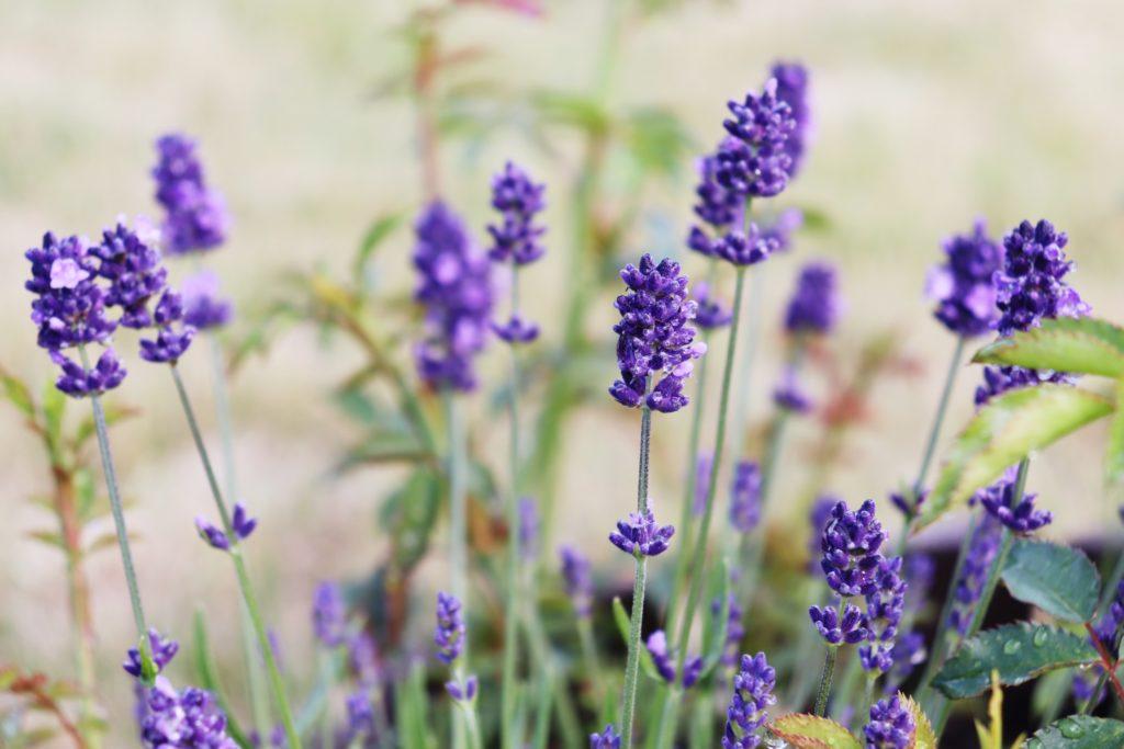 Lavendel - nützliche Blumen im Garten