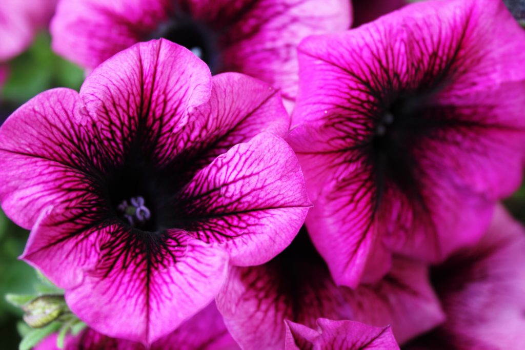 Bekannteste Balkonblumen, in lila - Petunien