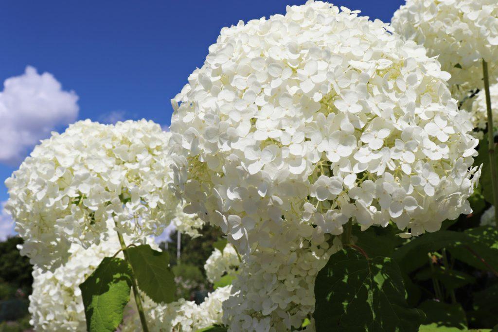 Schneeball in weiß, sehr große Blüten