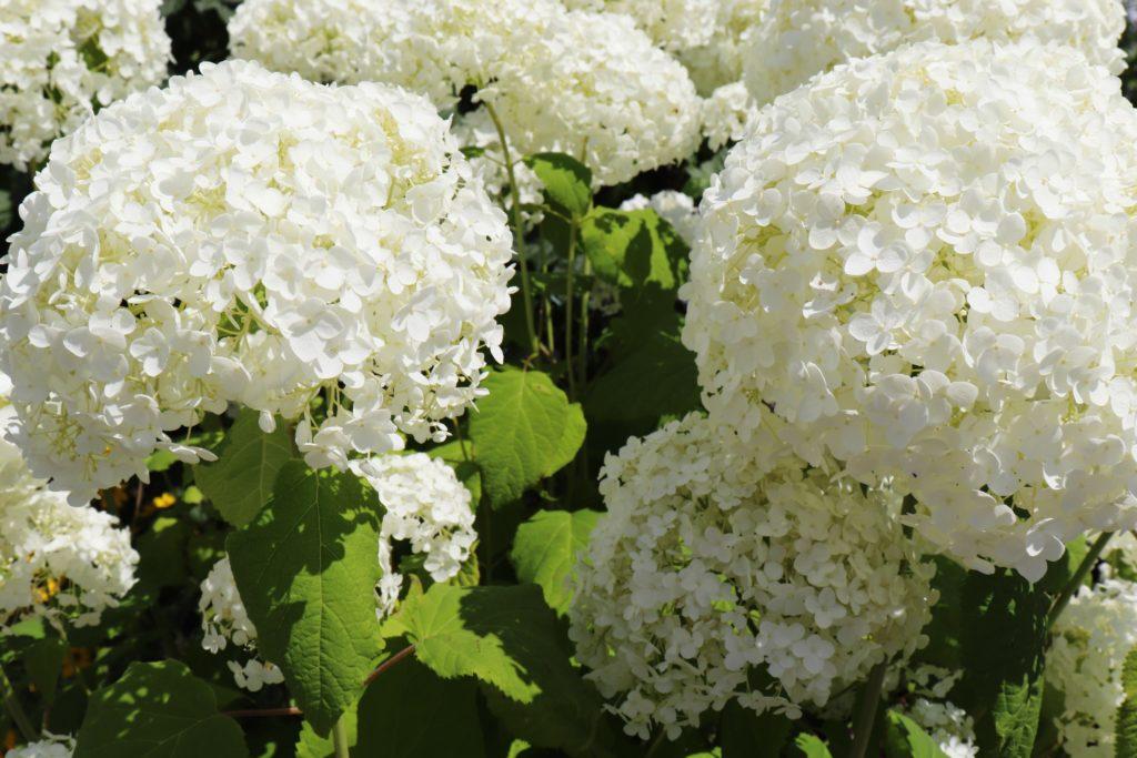 Schneeball in weiß - ein Gartentipp